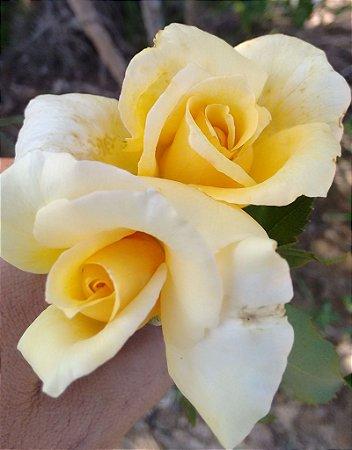 Rosa Amarelo Canário Enxertada