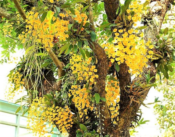 Orquidea Dendrobium Lindleyi  - Muda