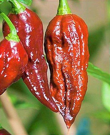 Pimenta Bhut Jolokia Chocolate - Kit c/ 20 sementes