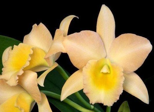 Orquídea Blc Bouton D'or Halcyon Am/Aos
