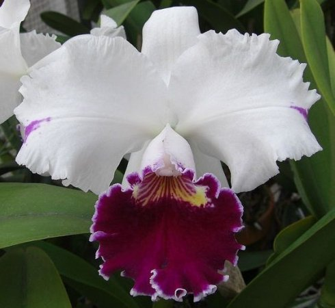 Orquídea Cattleya LC Chian-Tzy Mild Compton ´Yukiyama Asahi´