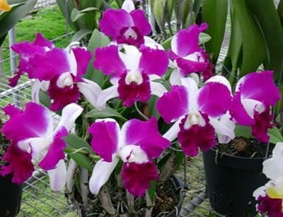 Orquídea Cattleya LC Red Empress X LC Shellie Compton RED BUTTERFLY