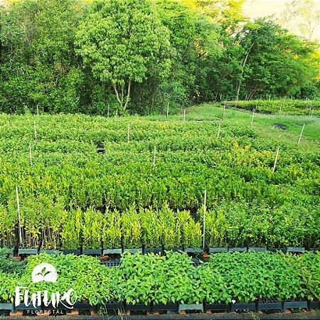 Mix recuperação ambiental - reflorestamento (valor por caixa com 50 unidades)
