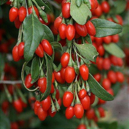 Goji Berry (Lycium barbarum) 100 sementes