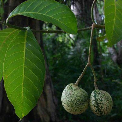 Voacanga Sementes  (Voacanga africana) - 10 sementes
