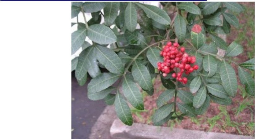 chacrona desidratada (psycotria viridis) 50 grs folhas
