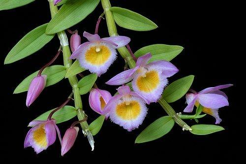 Dendrobium Loddigesii - Adulta