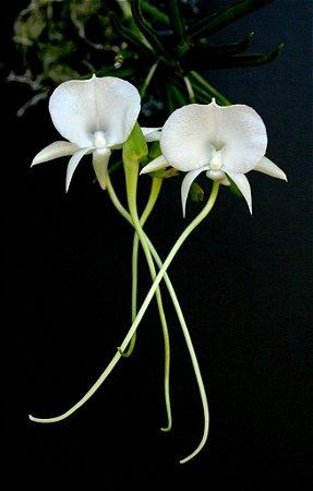 Angraecum Scottianum - Muda T4