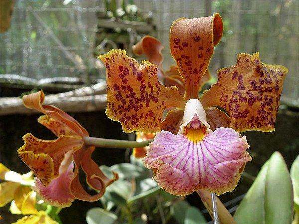 Cattleya Velutina - Muda T4