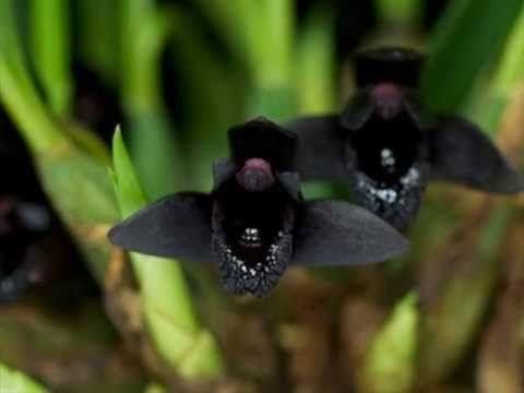 Maxillaria Schunkeana (Orquídea NEGRA) - AD