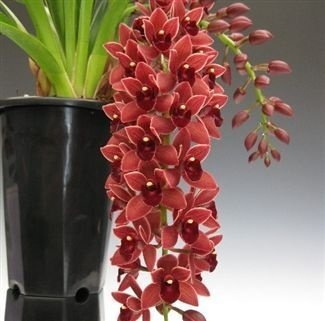 "Cymbidium Dorothy Stockstill ""Forgotten Fruits"" PENDENTE- T3"