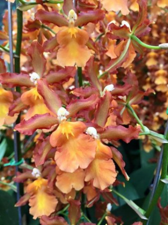 Odontocidium Catatante Pacific Sun King - Adulta