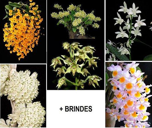 5 Orquídeas Dendrobium + 1 orquídea de BRINDE + adubo