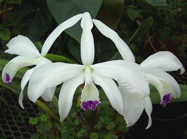 Laelia Perrinii var. Semi Alba - Muda T3
