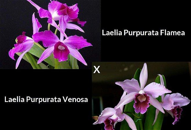 Laelia Purpurata Flamea x Laelia Purpurata Venosa - T3