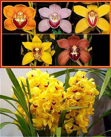 IMPERDÍVEL: Kit de Cymbidiuns do Havaí com 5 orquídeas - T4