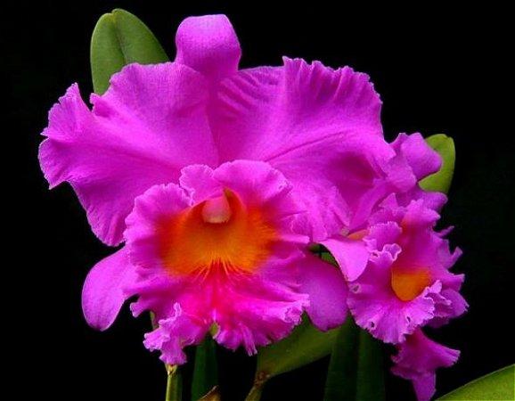 Blc Pink Empress - Muda T3