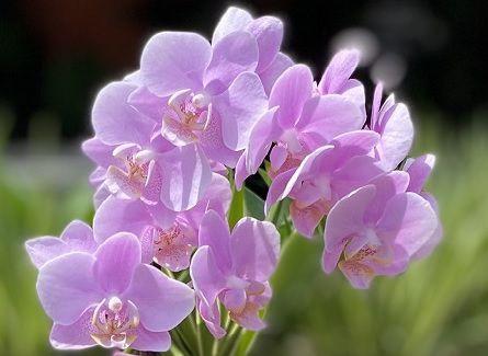Mini Phalaenopsis N10 - Adulta