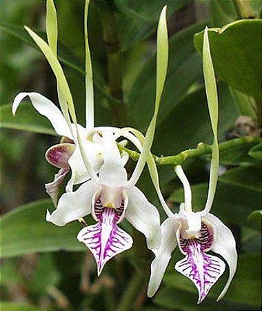 Dendrobium Antenatum - Muda T4