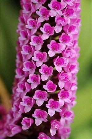 Arpophyllum Giganteum (Micro Orquídea) - Muda T4