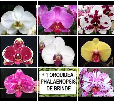 Kit 03: 7 Orquídeas Phalaenopsis + 1 de BRINDE - NBS