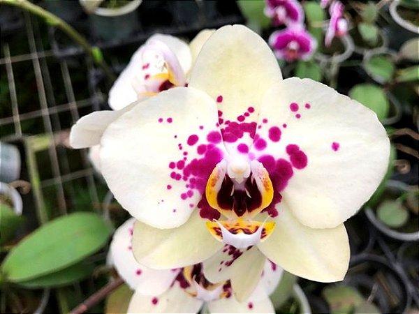 Phalaenopsis N9 - Adulta