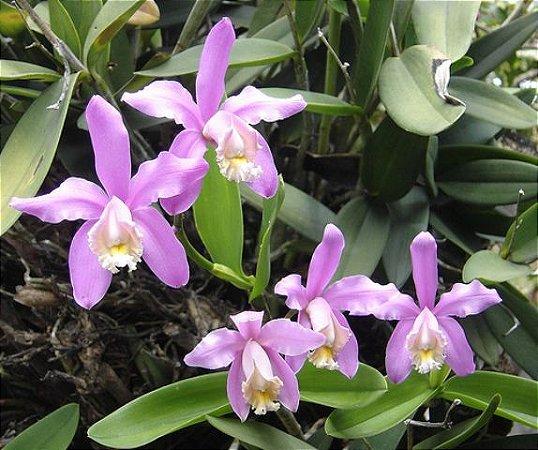 Cattleya Harissoniana - T4