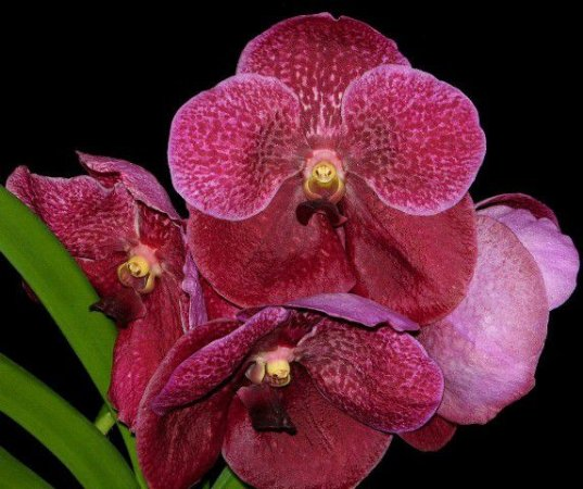 Vanda Robert Delight 'Granet Beauty' - T2