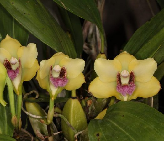 Bifrenaria Harrisoniae - T3