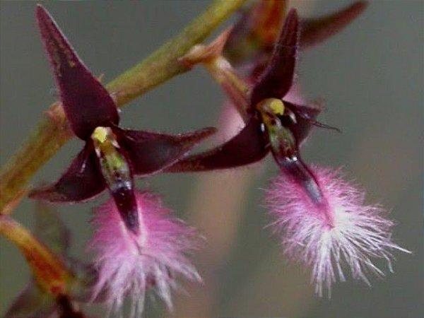 Bulbophyllum Saltatorium MICRO ORQUÍDEA - AD
