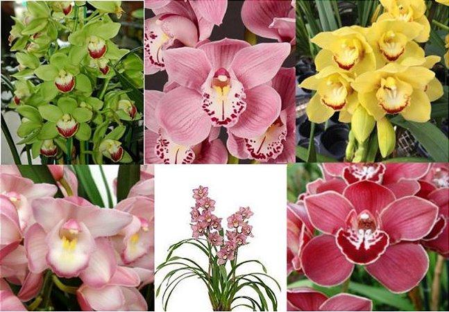 5 orquídeas cymbidium coloridas - T3