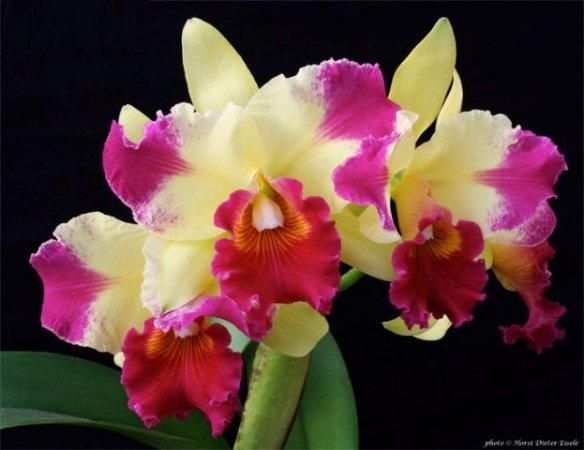 "Blc Hsinyng Sunset ""Tah Hsin"" - AD"