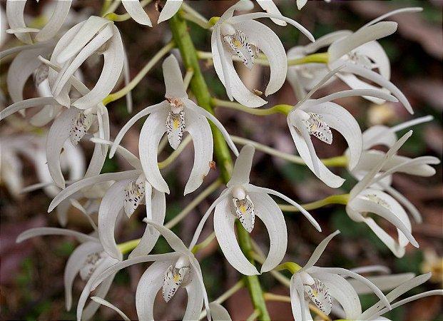 Dendrobium Speciosum - T2