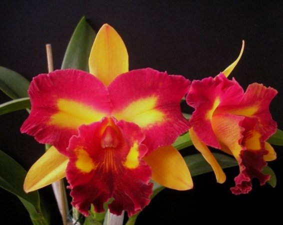 Blc Tropical Sunset - Muda T4