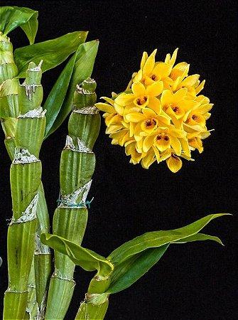 Dendrobium Sulcatum - T3