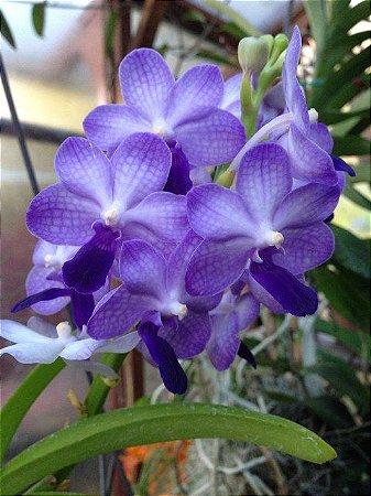 "Vandacostylis Thailand Blue ""Somsri"" - T3"