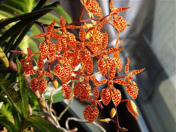 Renanthera Monachica - T2
