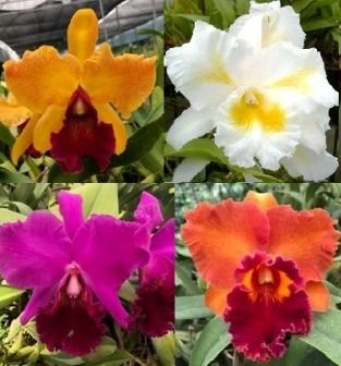 4 Lindas Orquídeas Cattleyas - Adultas