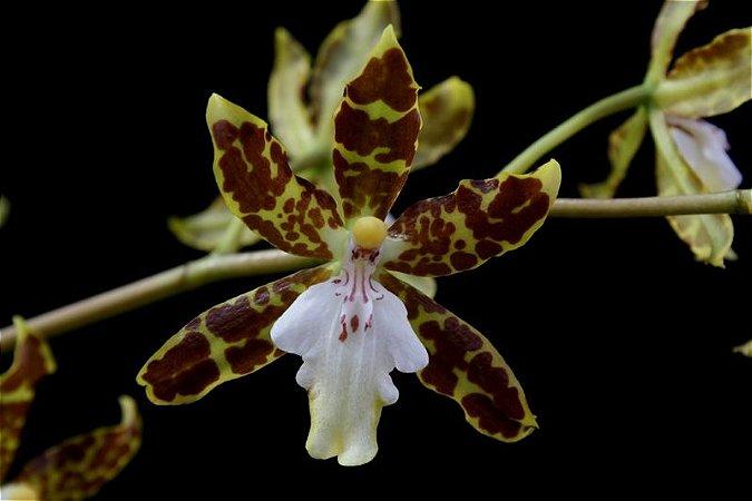 Oncidium Maculatum - Adulta