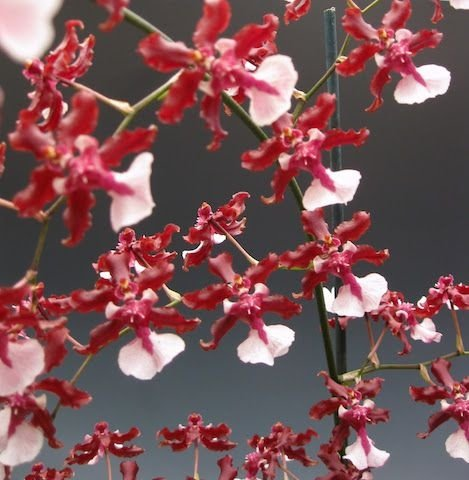 "Oncidium Sharry Baby ""Sweet Fragrance"" - Pré-Adulta"