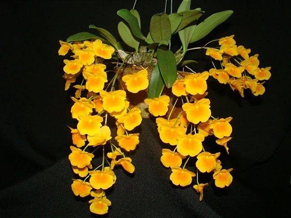 Dendrobium Agregatum - Muda T4