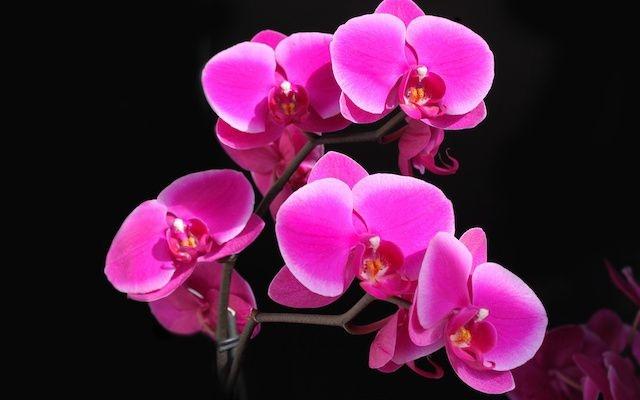 Phalaenopsis Rosa - ADulta