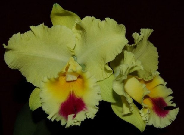"BLC Goldenzelle ""Lemon Chiffon"" - Muda T3"