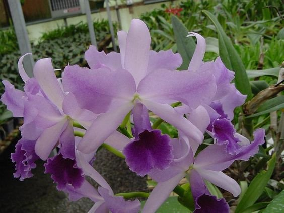 "Lc Mary Elizabeth Bohn ""Royal Flare"" AM/AOS - Muda T3"