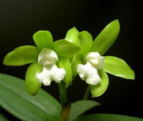 Cattleya Guttata Alba - Muda T2
