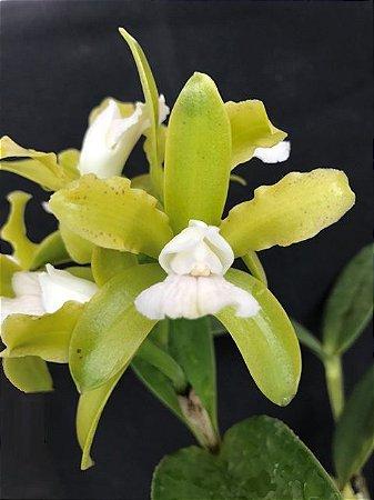 Cattleya Leopoldii Cetro Esmeralda - Muda T3
