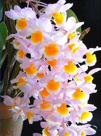 Dendrobium Rosy Cluster - Muda T3