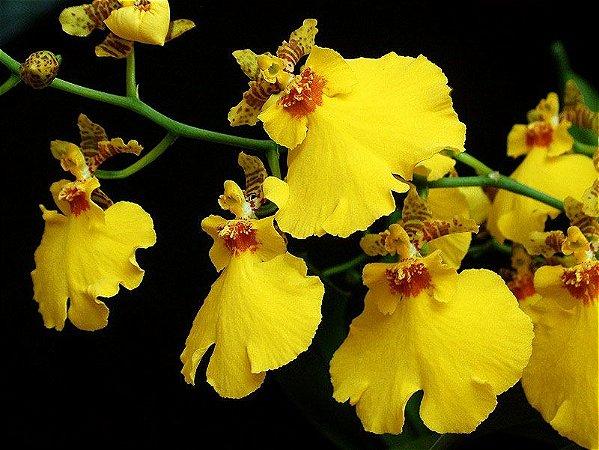 Oncidium Aloha Iwanaga - Muda T4