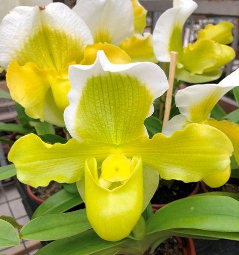 Paphiopedilum Yellow Master (Sapatinho) - Muda T4