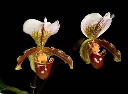Paphiopedilum Leeanum - Adulta